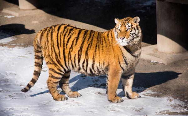 Siberian Tiger Park, Harbin Manchurian Tiger Park