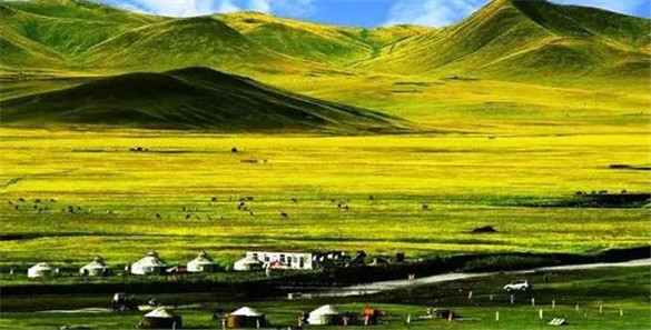 Gold and Silver Grassland close to Qinghai Lake
