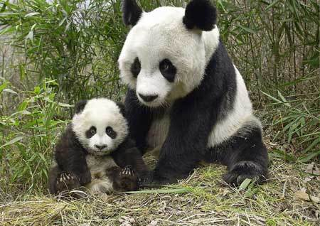 Pandas, Chengdu Tours, China Tours