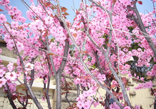best places to enjoy cherry blossom in china china travel blog