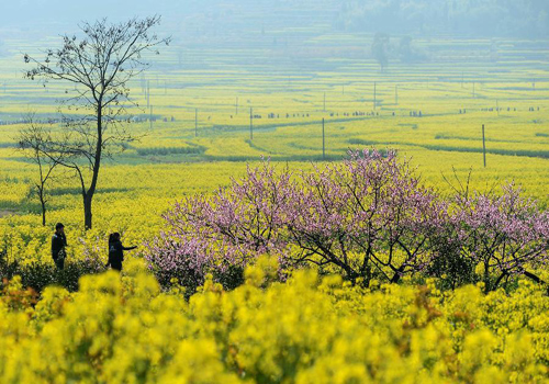 6th Zhejiang Rape Flower Festival kicks off
