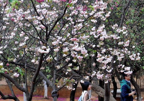 China's Kunming enters cherry blossom season