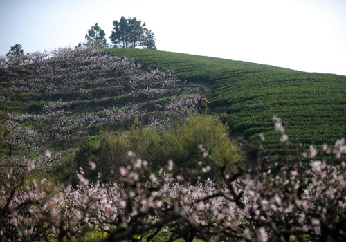 Tea plantations in Huzhou enter harvest season