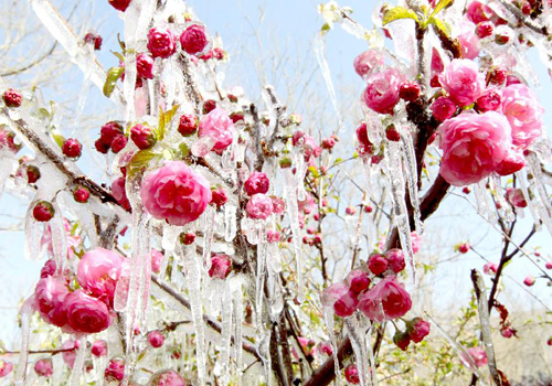 Icicles seen on tree branches and blossoms in Haimi, China's Xinjiang