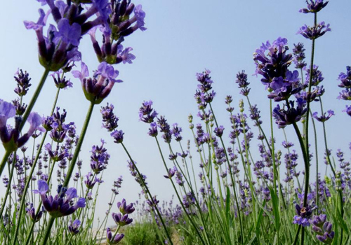 Lavender flowers attract tourists in China's Wuxi