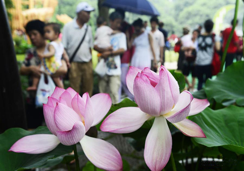 Lotus flowers blossom in China 's Hangzhou