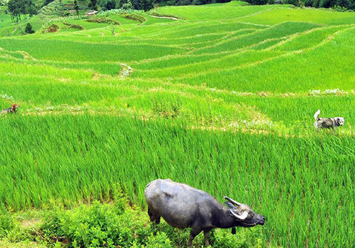 Scenery of paddy fields in Yuanyang, China's Yunnan
