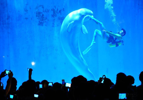 Beluga whales give wonderful dance show in Harbin