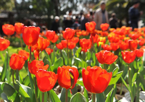 Tulips Blossom in Kunming, China's Yunnan Province