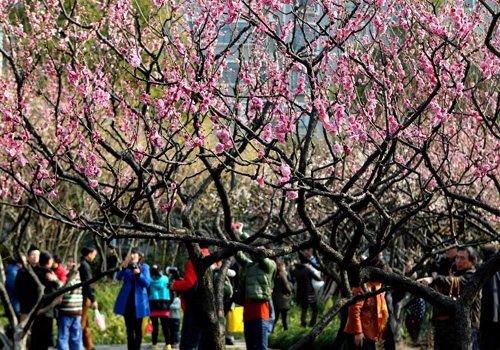 Plum Blossoms Came Out in Shanghai