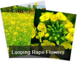 Rape Flowers in Luoping, Yunnan Tour