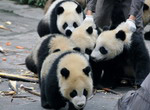 Have a cheap tour to China, it becomes your chance to see the giant pandas